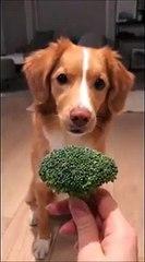 Ce chien est complètement dingue des brocolis !