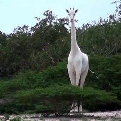 De rares girafes blanches sont découvertes et elles sont incroyablement belles