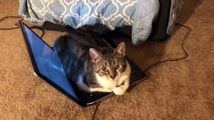 Ce chat adore s'asseoir sur un pc portable !