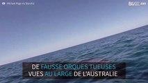Plusieurs fausses orques tueuses vues au large de l'Australie