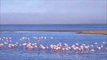 "NAMIBIE !  -   LA MER DU COTE DE  SWAKOPMUD  - "" FLAMANDS ROSES ET  OTARIES """
