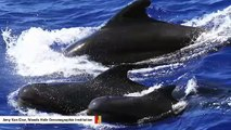 Pilot Whale Groups Have Their Own Unique Dialects, Study Finds