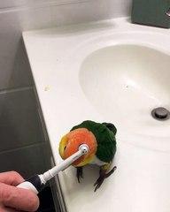 Cette perruche adore se faire brosser avec une brosse à dents électrique