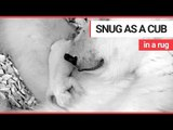 Cute polar bear cub size of guinea pig snuggles up with mum | SWNS TV
