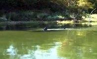 Un grand requin blanc filmé en eau douce dans une rivière du Massachusetts