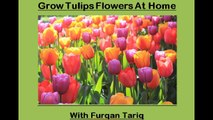 How to grow Tulips Flowers Plant at Home | Tulips flowers kay podhay ko gher maiy kaisay ugaay, very easy tips |