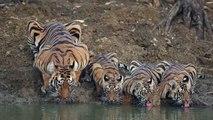 Inde : une maman tigre et ses trois petits boivent au bord d'un point d'eau