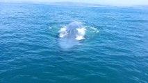 Belle rencontre avec une baleine bleue à Dana Point
