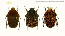 New Species of Beetles Named After 'Game of Thrones' Characters