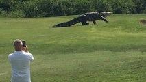 Un énorme alligator se promène sur un terrain de golf