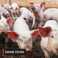 PH bans pork from 8 countries due to swine fever