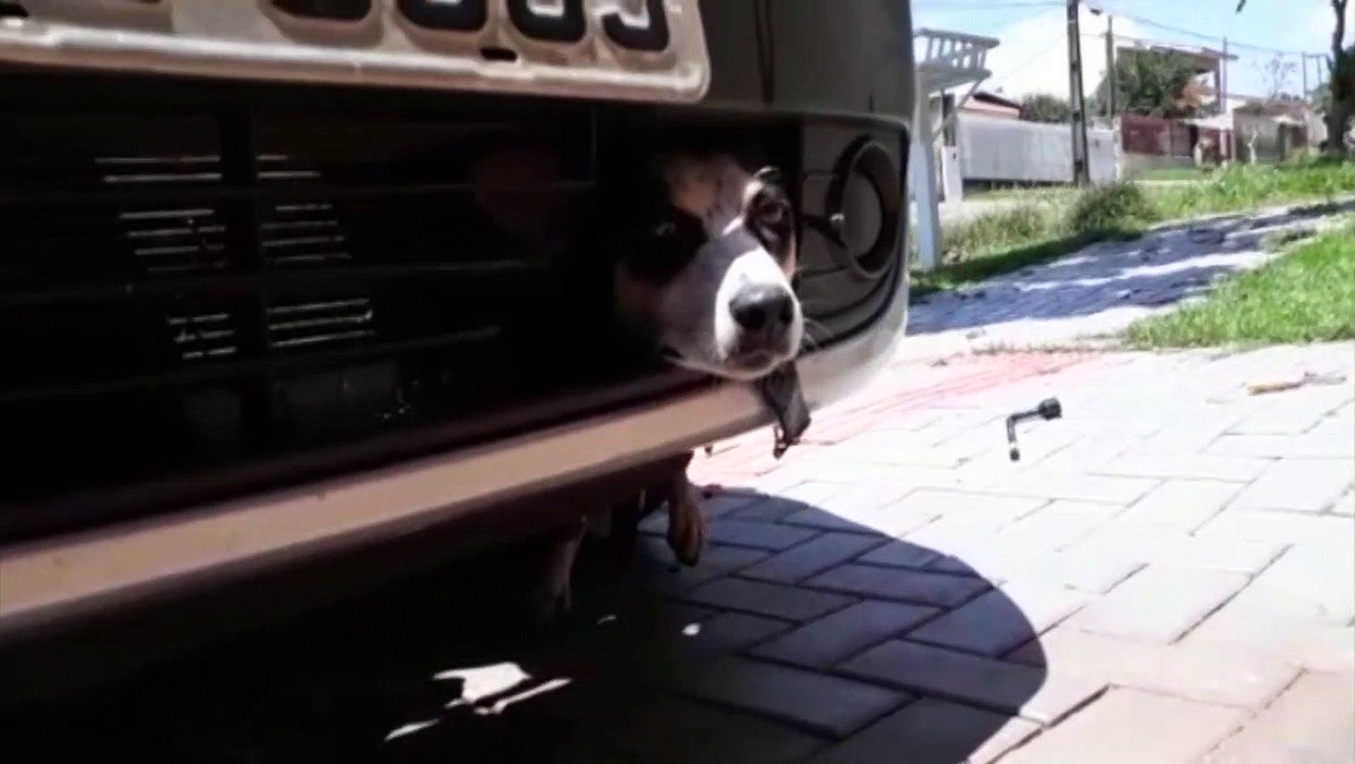Presa sob carro, cadela sobrevive após rodar 100 km e ficar 15 horas sem ser vista