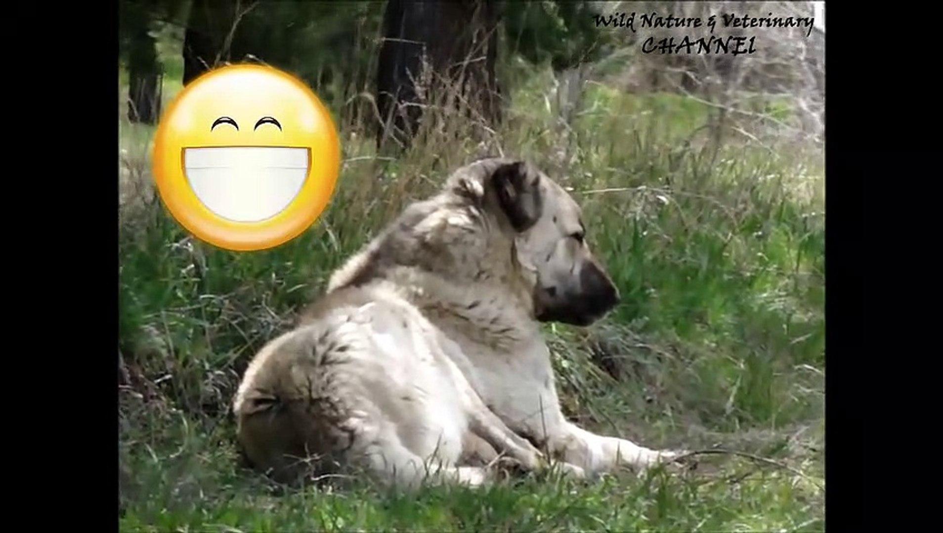 Awesome Dog Howling  Turkish Dog Kangal 720 x 1280