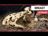 Adorable video shows feline suckling dalmatian's teat | SWNS TV