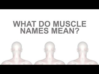What Do Muscle Names Mean? A-Z