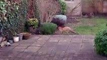 Un chat et un renard jouent à cache-cache dans un jardin... Adorable