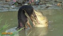 Un crocodile ne fait qu'une bouchée de ce cochon sauvage