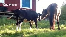 Clever Cows, Curious Cows   Funny Cow Videos   Cute Cow u0026 Horse Video