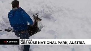 نجات بز کوهی مدفون شده زیر برف در