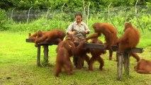 À Bornéo, des bébés orangs-outans pris en charge dans un centre