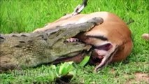IMPRESIONANTE; BEBES ANIMALES DEVORADOS VIVOS DEVIATED LIVE ANIMAL BABIES