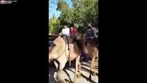 Ce chameau mange le pied d'un enfant touriste en balade !