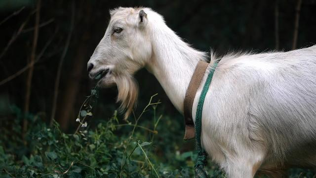 'Goat Fund Me' Wants to Hire Goats to Help Prevent Wildfires