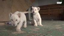 Двух белых львят привезли во Владивосток