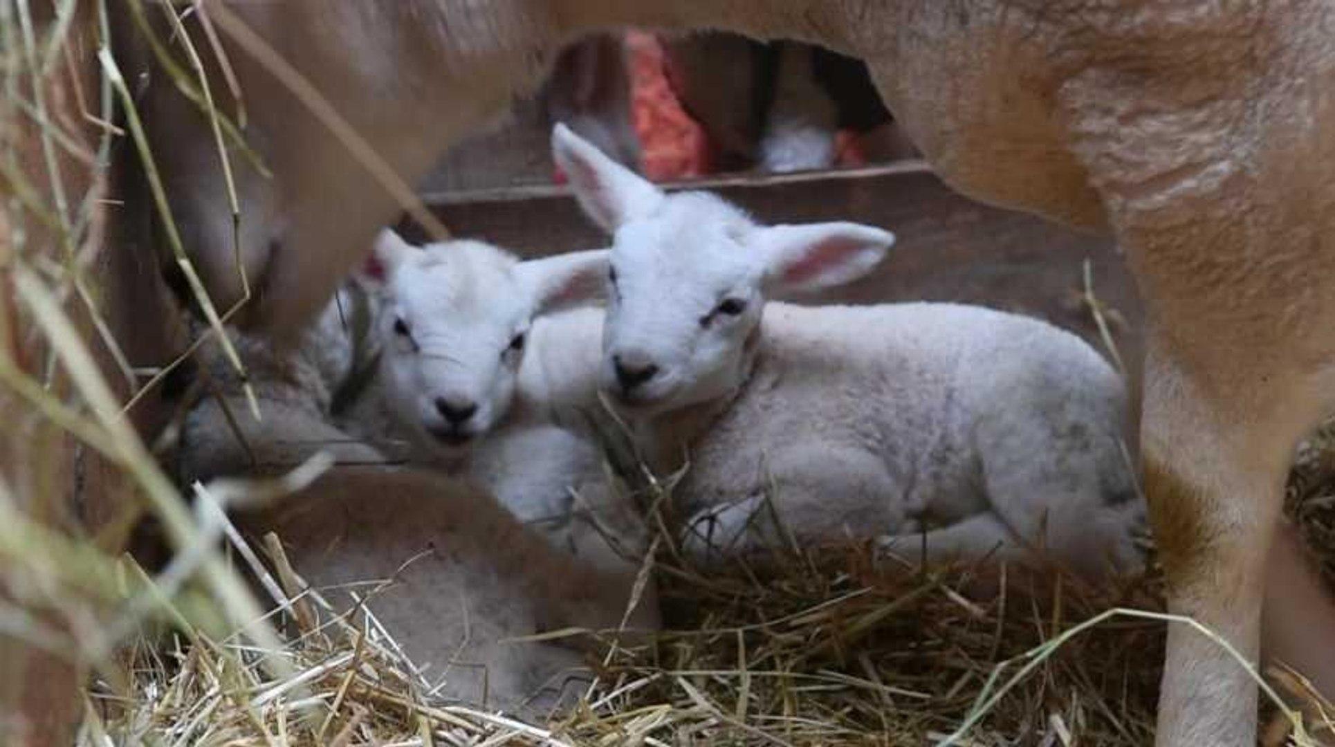 Rarissime : une brebis met au monde 6 agneaux à Juseret.