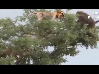 Tiger, Leopard and Smart Monkey - Wild Fight