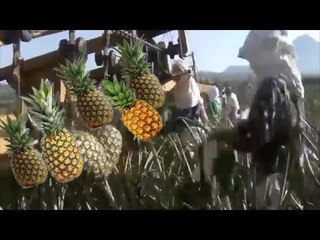 Intelligent Pineapple Farming From  Planting , Harvesting And Processing