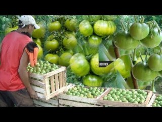 Cultivating And Harvesting Unripe Tomatoes