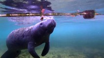 Scuba Diving Encounters: Snorkeling With Manatees at Crystal River, Florida