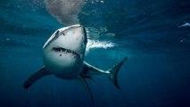 Avvistato lo squalo più grande al mondo: è lungo più 6 metri, ma non c'è da aver paura. Ecco perché