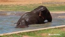 Elephants cool off in pool amid heat wave