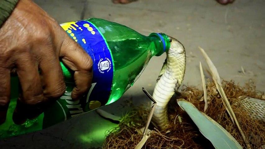 Man saves trapped king cobra