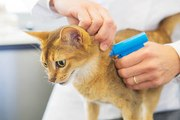 L'identification du chat : faut-il opter pour le tatouage ou la puce électronique ?