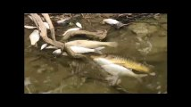 Des centaines de milliers de poissons morts en Australie