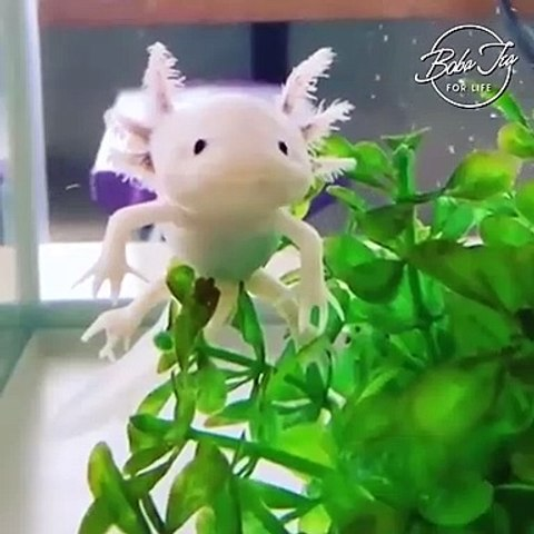 Cute as an Axolotl Salamander, the World's most adorable animal: You're cute even when you're sick