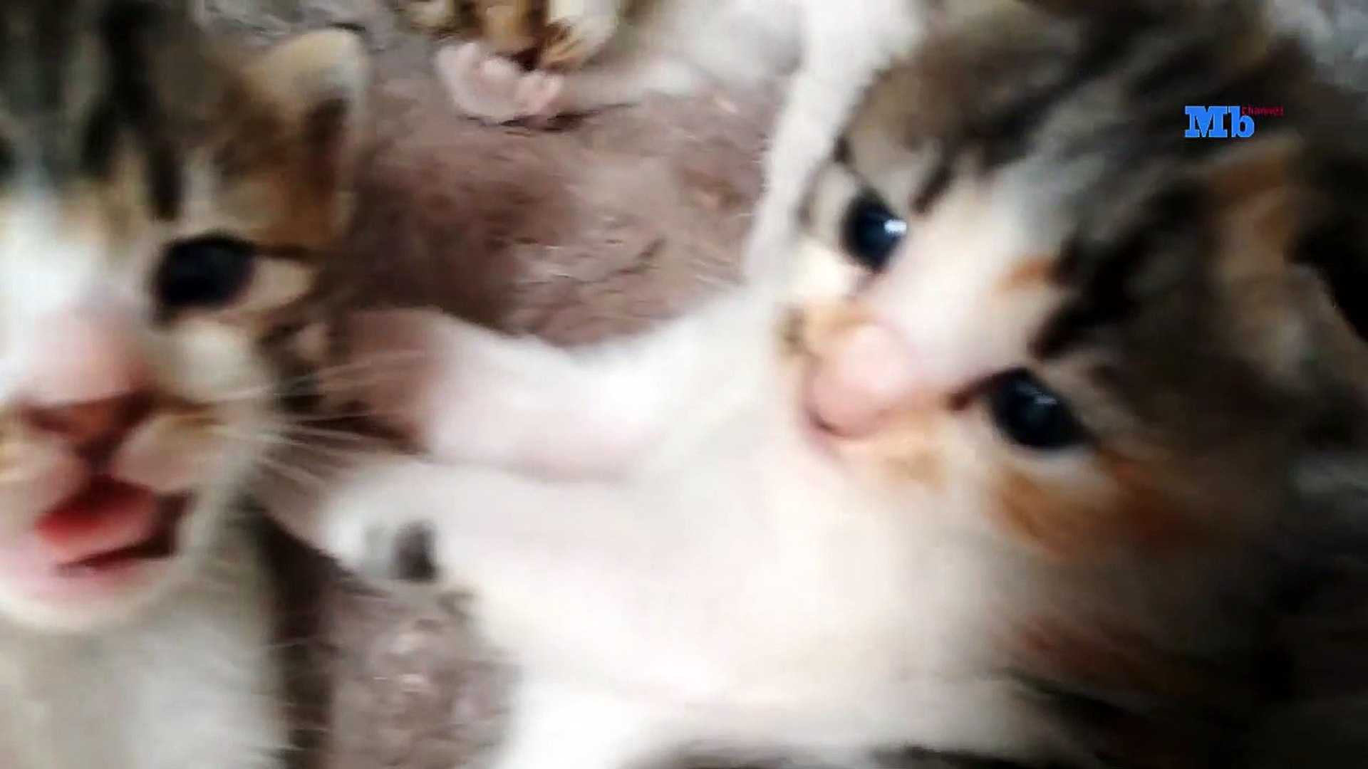 Anak Kucing Blasteran Anggora Dan Kucing Kampung Lucu Dan Imut Video Dailymotion