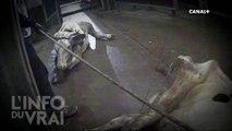 Un abattoir polonais met sur le marché de la viande de vaches malades - L'info du vrai du 01/01 - CANAL+