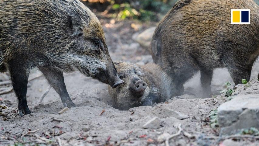 Hong Kong's wild pig problem