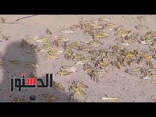 الدستور | دخول سرب جديد من الجراد للحدود المصرية السودانية