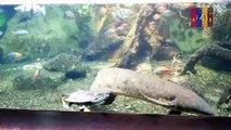 B29- Australian Lungfish, Banded Archerfish, Red Rainbowfish, Lake Tebera Rainbowfish, Boese man's Rainbowfish, Banded Rainbowfish, Roti Island Snake-Necked Turtle,