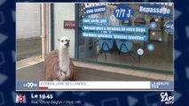 Un lama photographié devant une laverie dans les Landes !