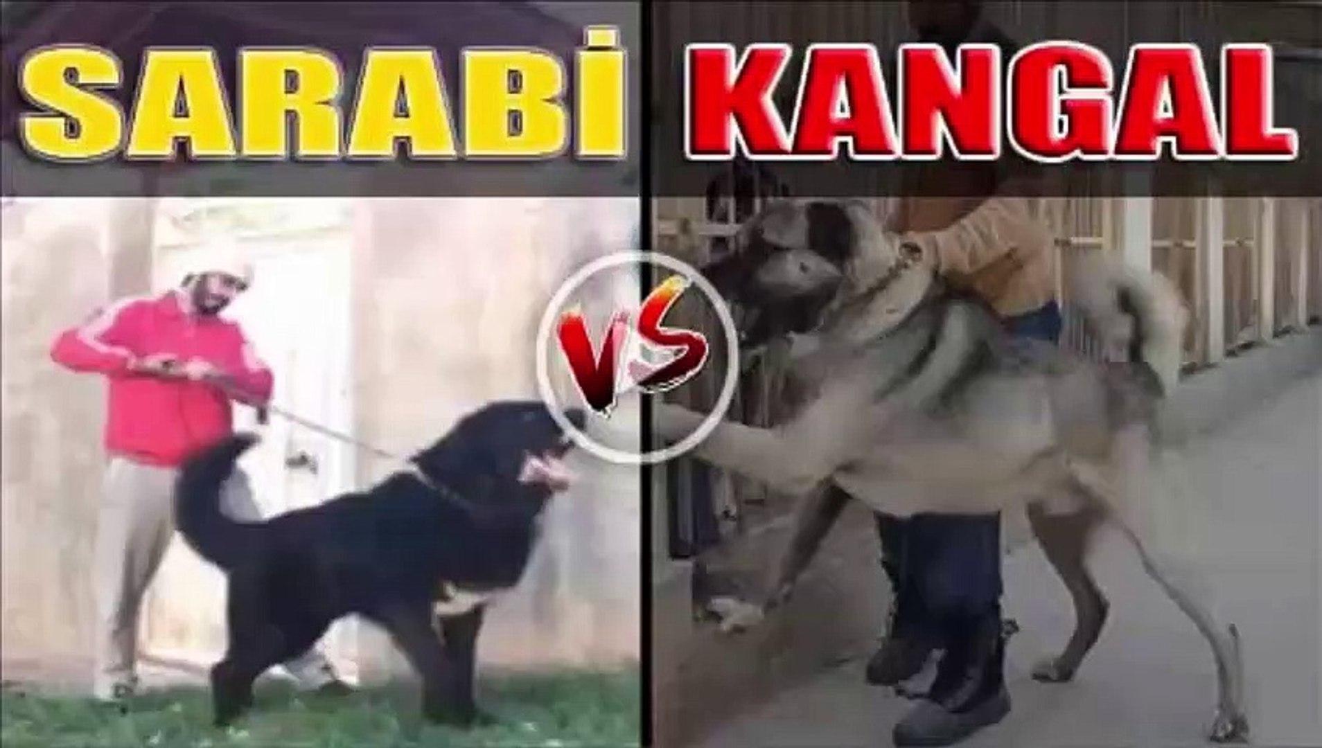 IRAN SARABi KOPEGi VS SiVAS KANGAL - PERSiAN SHEPHERD SARABi DOG vs SiVAS KANGAL DOG