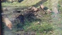 Peaugres : toute la petite famille de chiens des buissons