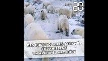 Russie: Des ours polaires affamés envahissent un archipel arctique