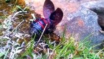 Un touriste découvre un insecte très rare et magnifique : Mountain Katydid