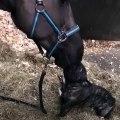 Gros bisou entre un cheval... et un bouledogue francais !